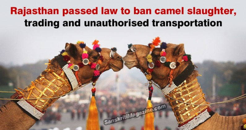 Rajasthan passed law to ban camel slaughter, trading and unauthorised transportation