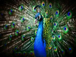 05-1420459069-peacock