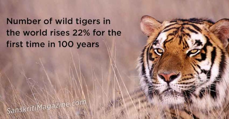 Number of wild tigers in the world rises 22% for the first time in 100 years