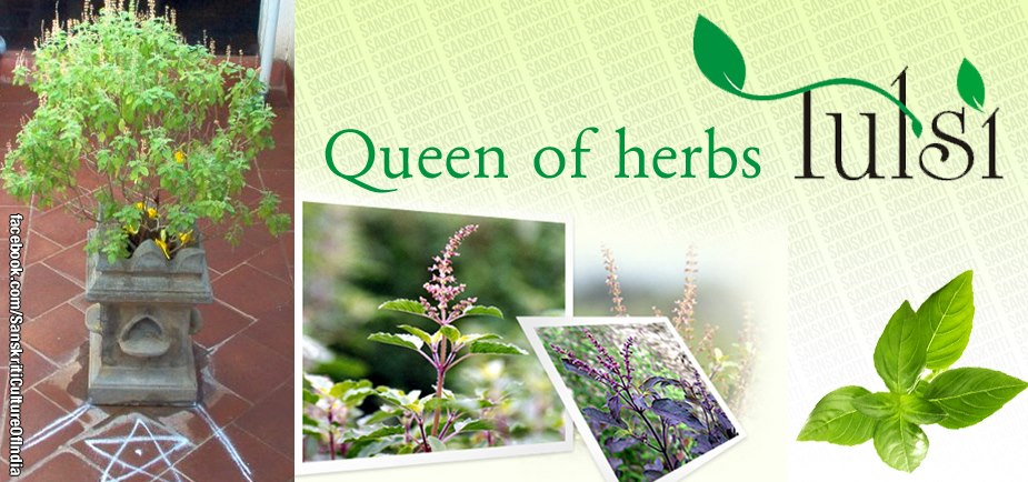 Tulsi - The Queen of Herbs!!