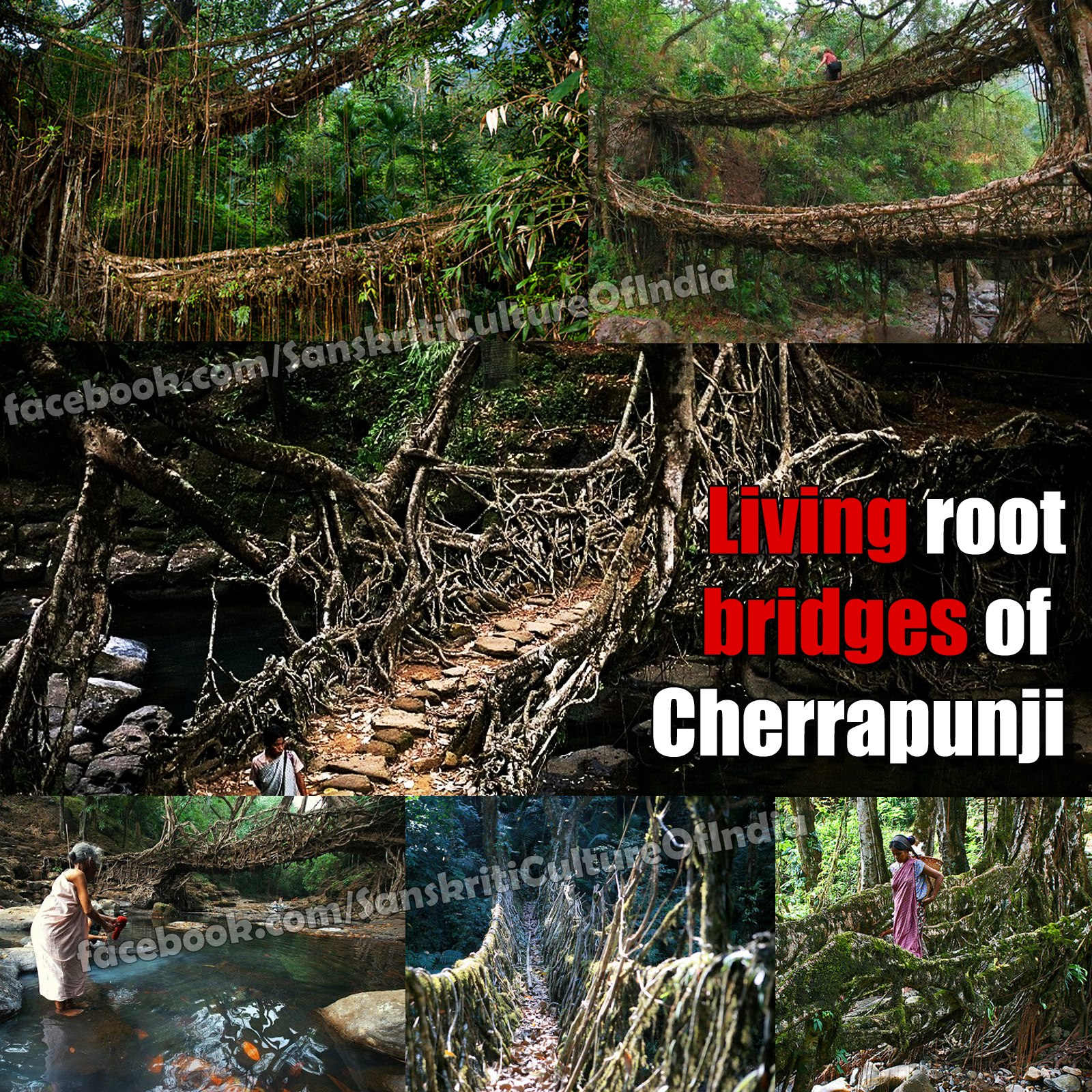 Living Root bridges of Cherrapunji