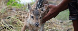 The little deer lives to see another day thanks to the boy who jumped into the river and rescued it