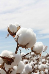 Cotton_Balls