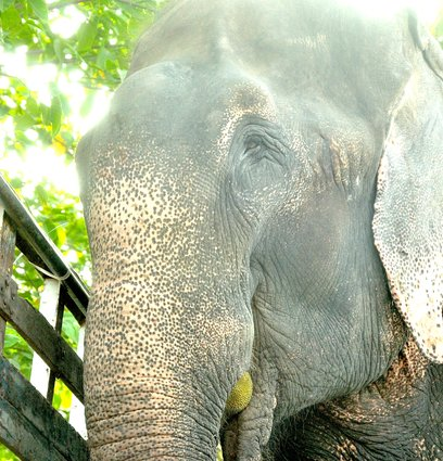 Raju eats fruit as a free elephant