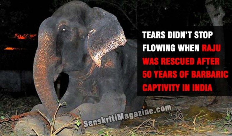 Raju the elephant cries after 50 years of captivity, abuse