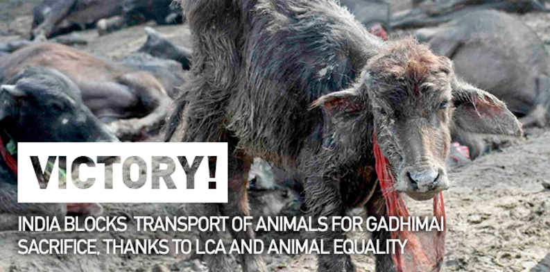 India blocks transport of animals headed for sacrifice to Nepal
