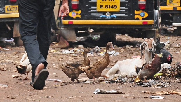 Avian Flu In Kerala Identified As H5N1