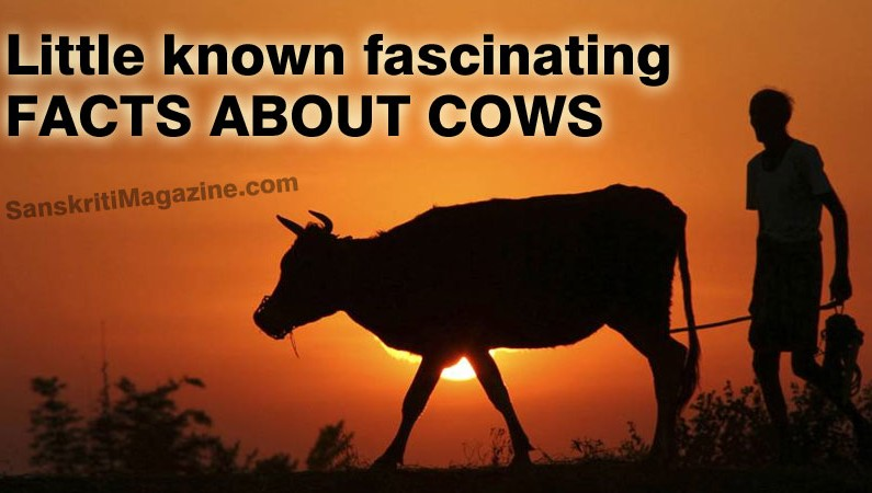 Little known fascinating facts about cows