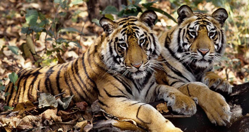 30% rise in India's tiger population