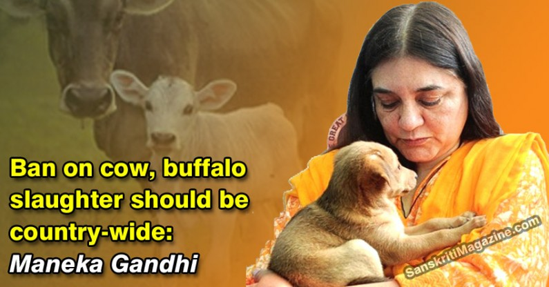 Ban on cow, buffalo slaughter should be country-wide: Maneka Gandhi