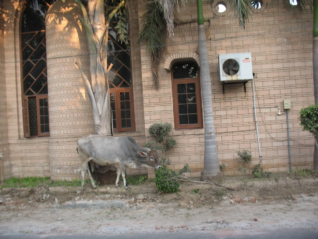Pic 02. Cattle grazing the ficus topiary (ornamental shaping) in the 5 feet width green belt of House No. 250 on a 30' wide sector road where the cattle guard fencing was dismantled by MCF on 22-11-13 in contravention of court's orders