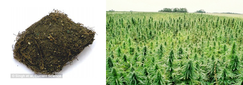 The pair collected a sample of plaster from Cave 12 of the complex and isolated cannabis sativa, or ganja, before examining it under a scanning electron microscope. A small piece of plaster showing cannabis satvia fibres is shown left and a stock image of a field of cannabis plants (right)