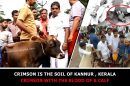 Crimson is the soil of Kannur – crimson with the blood of a Calf
