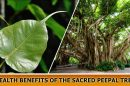 Health Benefits of the sacred Peepal Tree