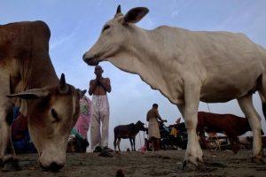 rajasthan cow smuggler